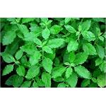 Albahaca Fina Verde en  Agrofertas®