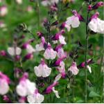 Salvia en  Agrofertas®