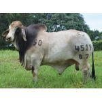 Semex Beef Brahman Bruselas Tame Carrao T.E. 4519/87 en  Agrofertas®