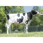 Semen Toros Holstein Suizos Crushabull en  Agrofertas®