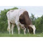 Semen Toro Holstein Suizo Incredibull-Red en  Agrofertas®