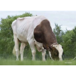 Holstein Incredibull-Red vende  Semex Colombia LTDA