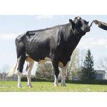 Semen Toros Holstein Suizos Lautrust en  Agrofertas®