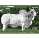 Semex Beef Nelore Magnum de Navirai en  Agrofertas®
