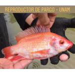 Pargo vende  INTEPISCA
