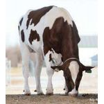 Semen Toro Holstein Suizo Russ-PP-Red en  Agrofertas®