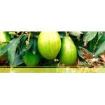Venta de Aguacate Papelillo / Lorena en  Agrofertas®