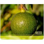 Venta de Aguacate Reed en  Agrofertas®
