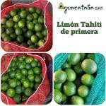 Limón Tahití de Primera vende  Aguacatalia SAS