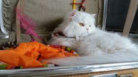 La Hora Loca (Presencial) vende  Niñera de Gatos