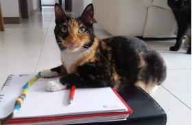 Asesorías en Comportamiento Felino ( Virtuales y Presenciales ) vende  Niñera de Gatos