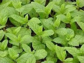 Hierbabuena en  Agrofertas®