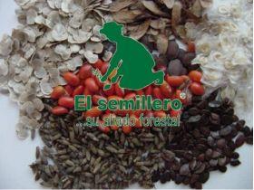 Moringa (Semillas) en  Agrofertas®