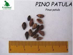 Pino Pátula Semilla en  Agrofertas®