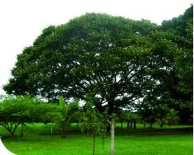 Algarrobo Semillas en  Agrofertas®