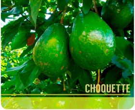 Venta de Aguacate Choquette en  Agrofertas®