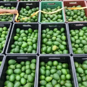 Venta de Aguacate Hass en  Agrofertas®