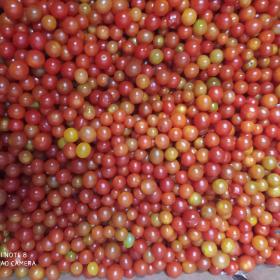 Tomates Perla en  Agrofertas®