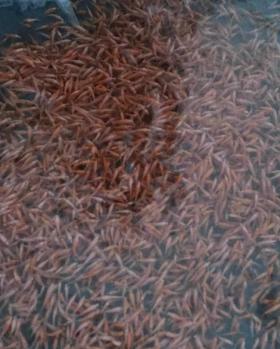 Alevinos vende  Agroinsumos Pecuarios Amigos del Campo